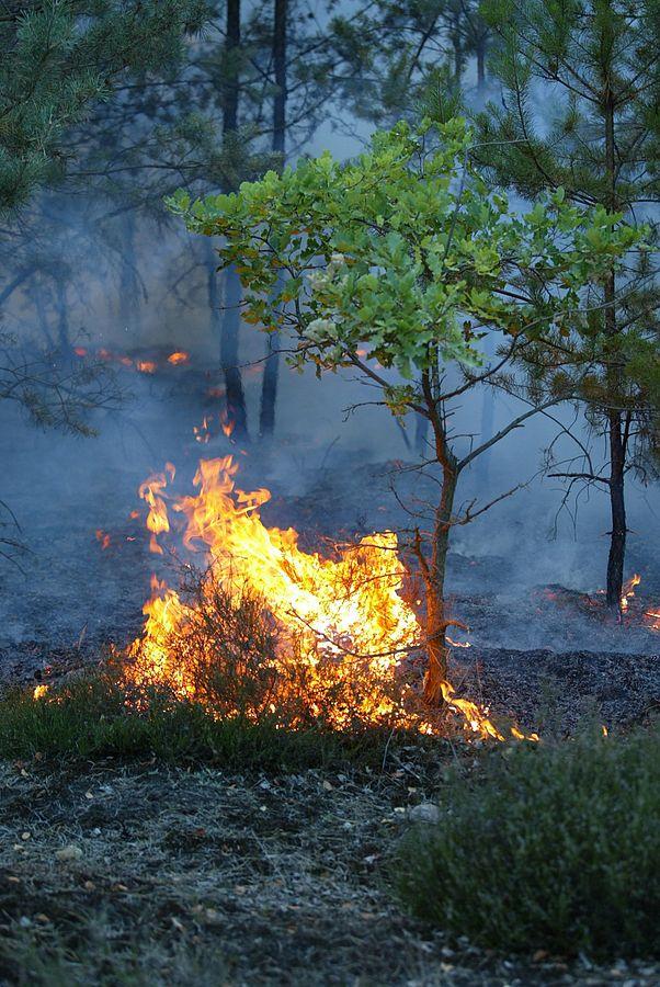 602px-Waldbrand-Bodenfeuer